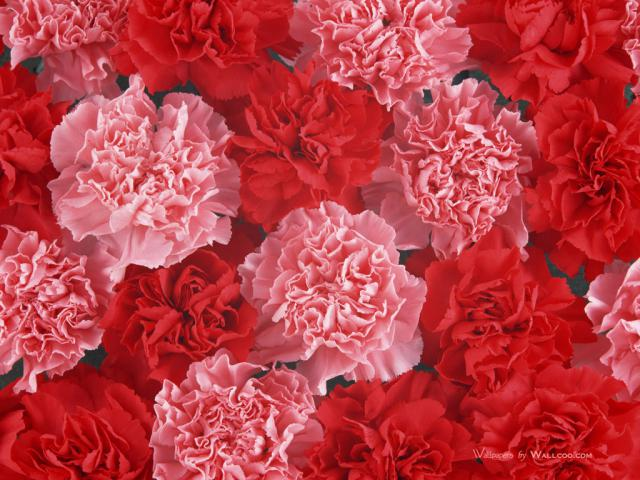 Carnation_flower_photo_Vol_091_DT039a.jpg